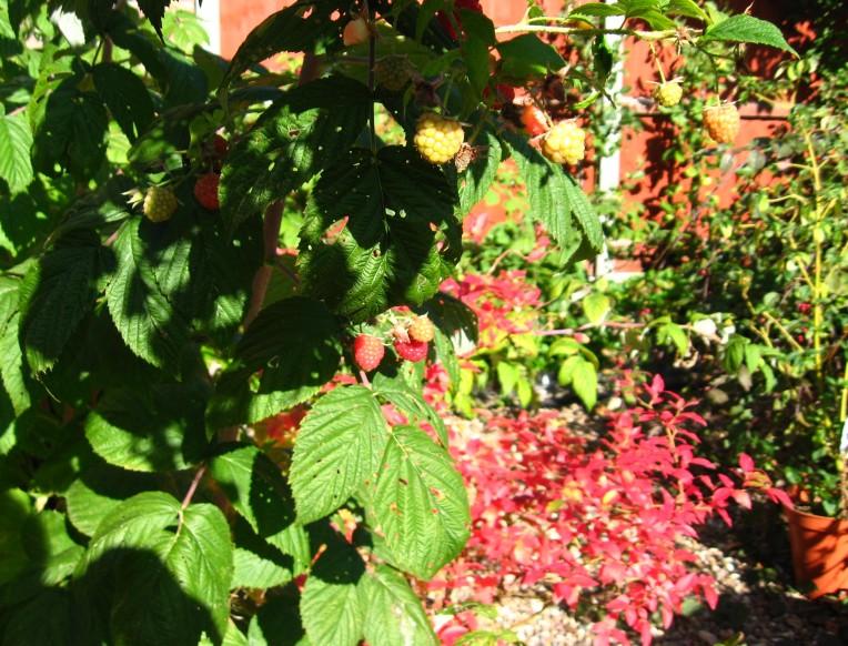 raspberries in the garden 004