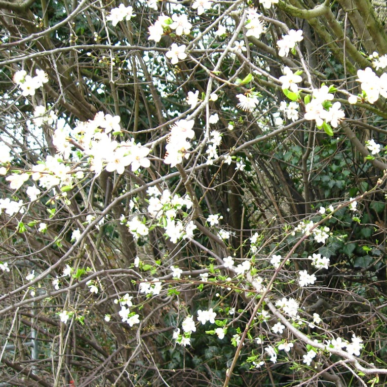 first of the blackthorn blossoms