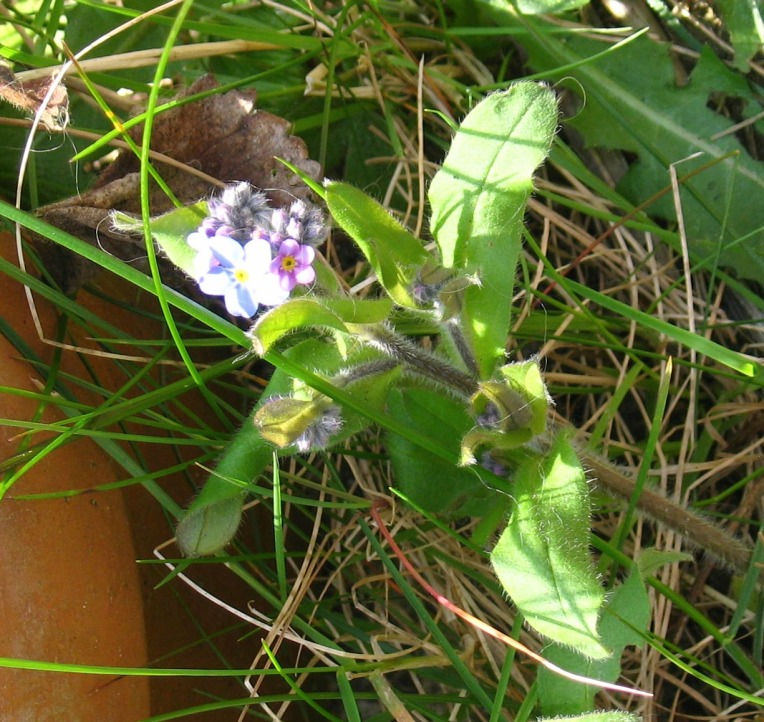 changing colours of a forget me not