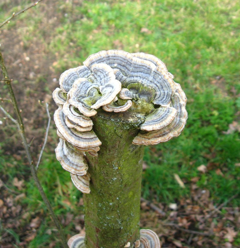 golf club fungi